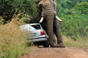 Elephant crushes car