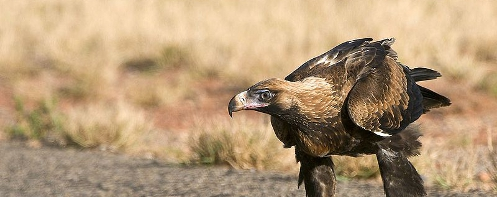 A Wedge-tailed Eagle hovering over roadkill