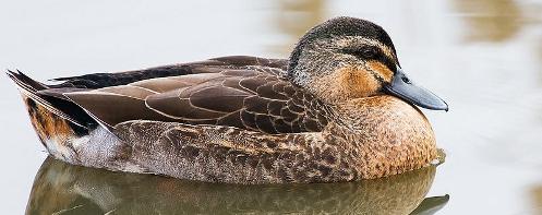 A Pacific Black Duck
