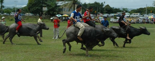 Water buffalo racing at Babulang