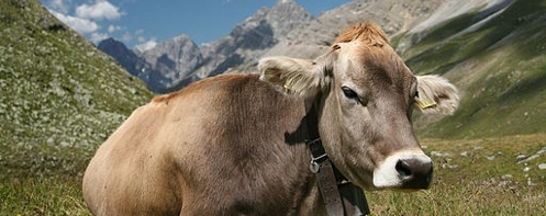 Swiss Braunvieh Cow