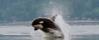 An orca porpoising
