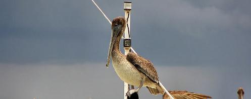 Brown Pelican on a boat in Trinidad