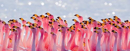 James's Flamingo (Phoenicoparrus jamesi)