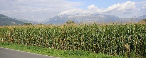 Liechtenstein cornfield
