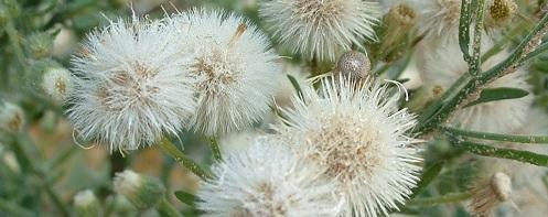 Conyza bonariensis seed heads and flowers