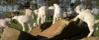 Kid goats at play