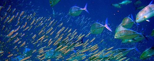 Bluefin trevally and anchovies