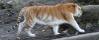 A golden tiger